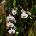 Phalaenopsis aphrodite Rchb.f 1862