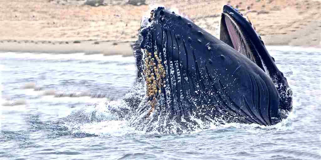 baleine-technique-manger-poisson