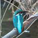 Kingfisher by shinichiro*