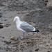 Herring Gull, Dinner 2