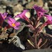 Parry monkeyflower, Diplacus parryi by Jim Morefield