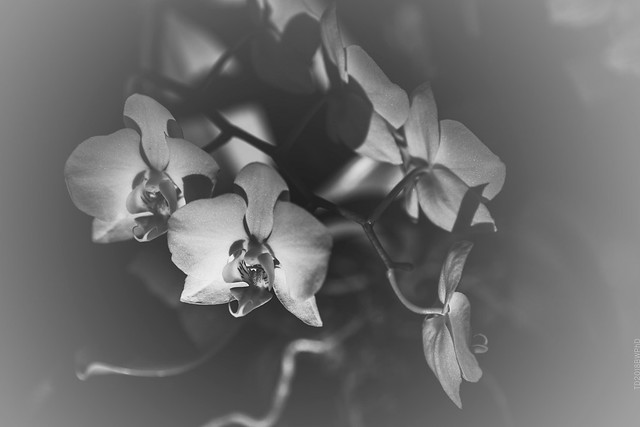 2018.11.17_321/365 - one more photo-exercise with orchids