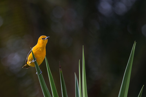 Hooded Oriole (Icterus cucullatus) | by Wildlife Photography by Matt Latham