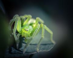 Micrommata virescens