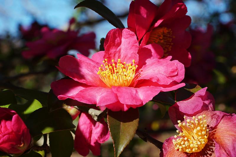 Camellia sasanqua SP. サザンカ 詳細不明