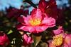 Photo:Camellia sasanqua SP. サザンカ 詳細不明 By ashitaka-f studio k2