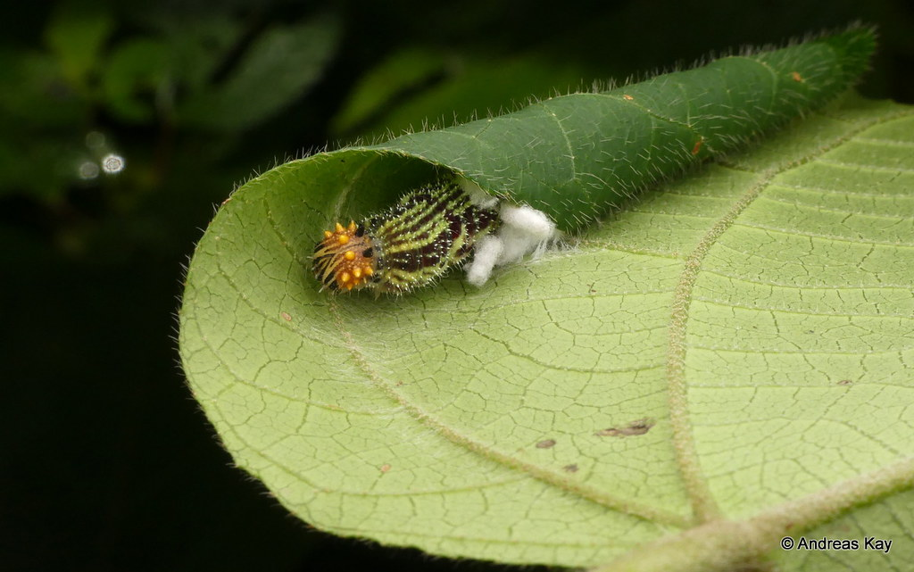 Fountainea caterpillar in its shelter, Charaxinae, Nymphalidae