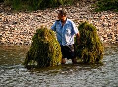 Water Grass