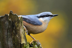 Autumnal Nuthatch