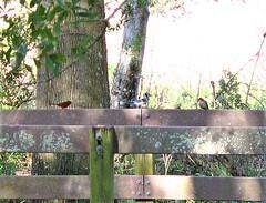 cardinal, blue jay, & woodpecker