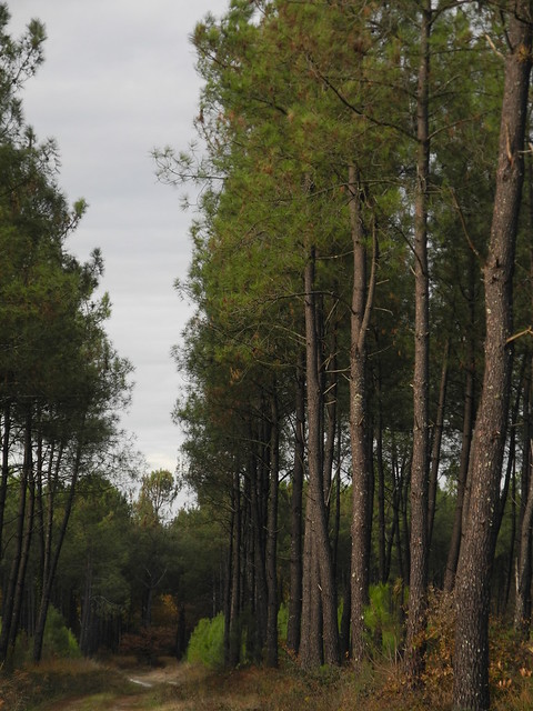 Forêt des Landes / Лес Ландов, Nikon COOLPIX P7100