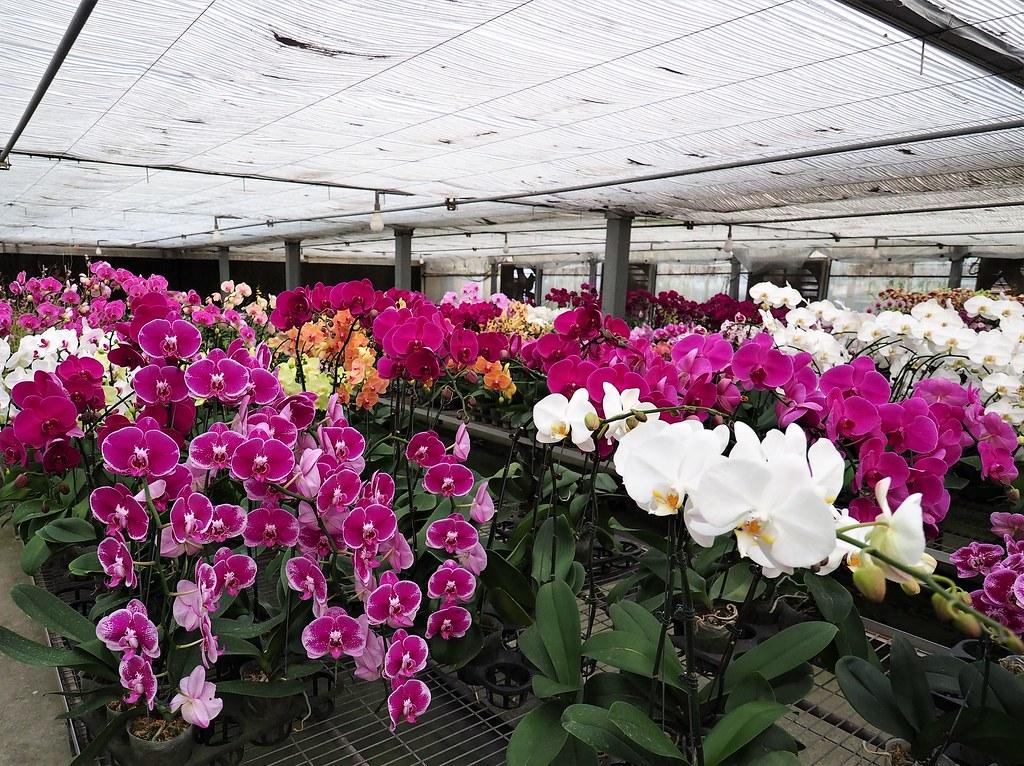 山上蘭科植物園 (14)
