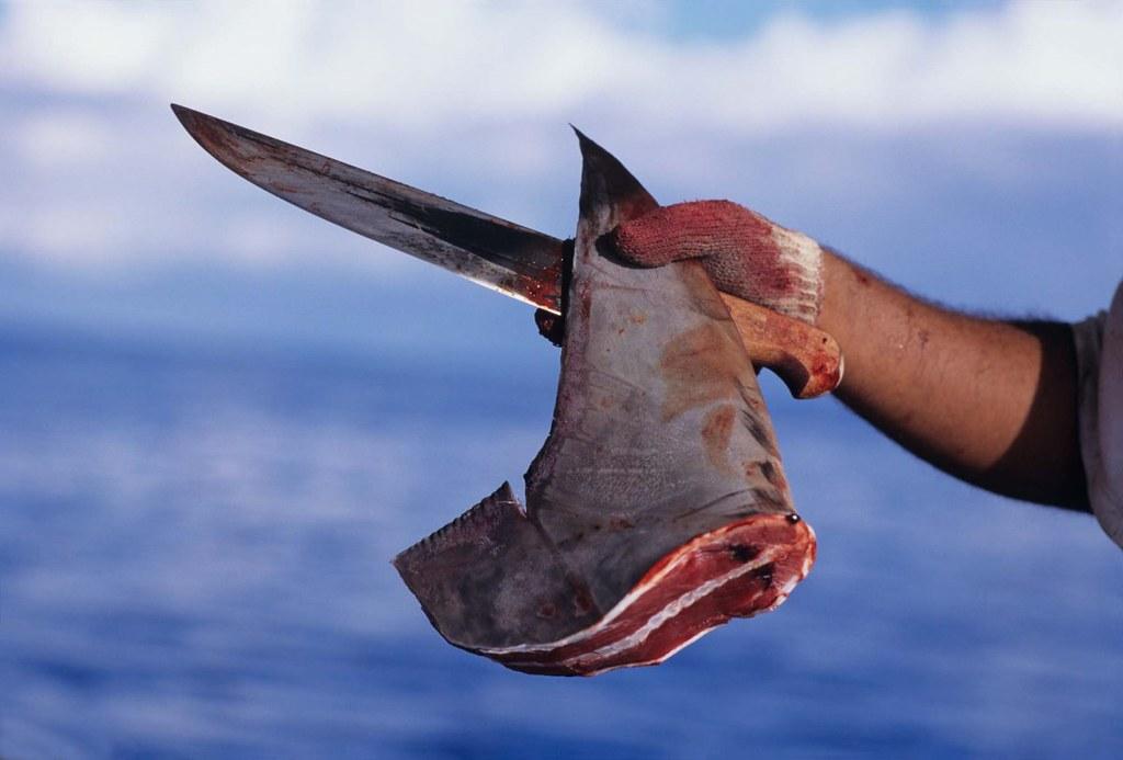 Empresa do Pará condenada por comércio ilegal de barbatana de tubarão, barbatana de tubarão