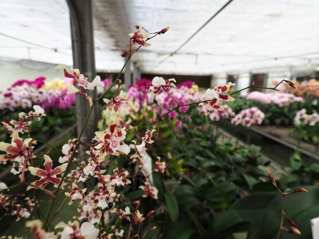 山上蘭科植物園 (21)