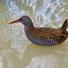 Water Rail Rallus Aquaticus