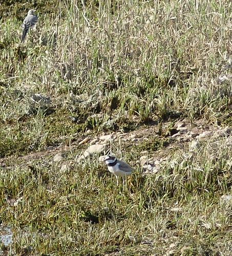 Flussregenpfeifer (Charadrius dubius) (3)