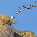 Puffin Takeoff by GunnarImages (Gunnar Haug)