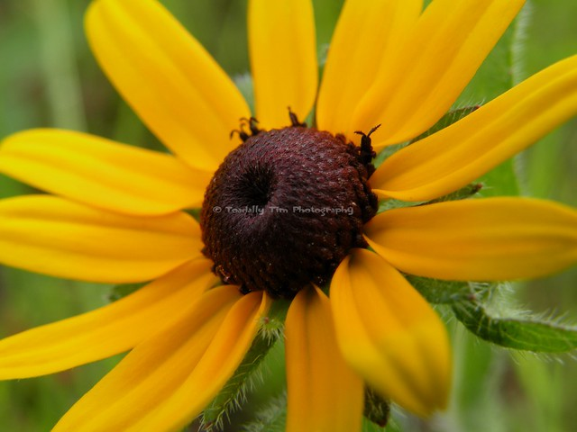 073 Brown-Eyed Susan (Medium), Nikon COOLPIX P80