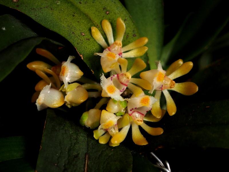 Les Orchidées chez Cloo en 2018 - Page 22 31958921648_fc1251444e_c