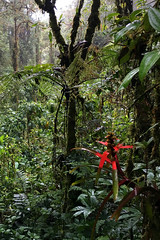 Red.  Guacamayos Ridge trail (aka Gumandi trail).  Ecuador.