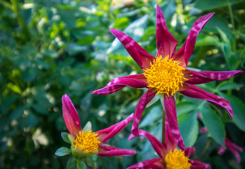 A Day with the Dahlias #3