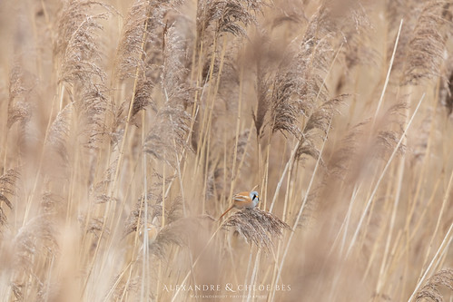 Bearded Reedling - Panure à moustaches 🐤🔭