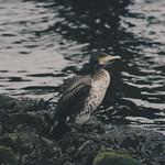Water Bird Bokeh - 8. Februar 2019 - Fehmarn - Schleswig-Holstein