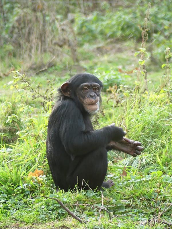 Schimpanse, Zoo Osnabrück