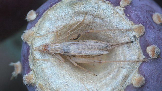 Tree Cricket (Oecanthus) on a Prickly Pear cactus fruit