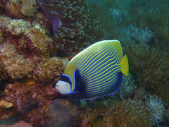 Angelfish - Poissons ange