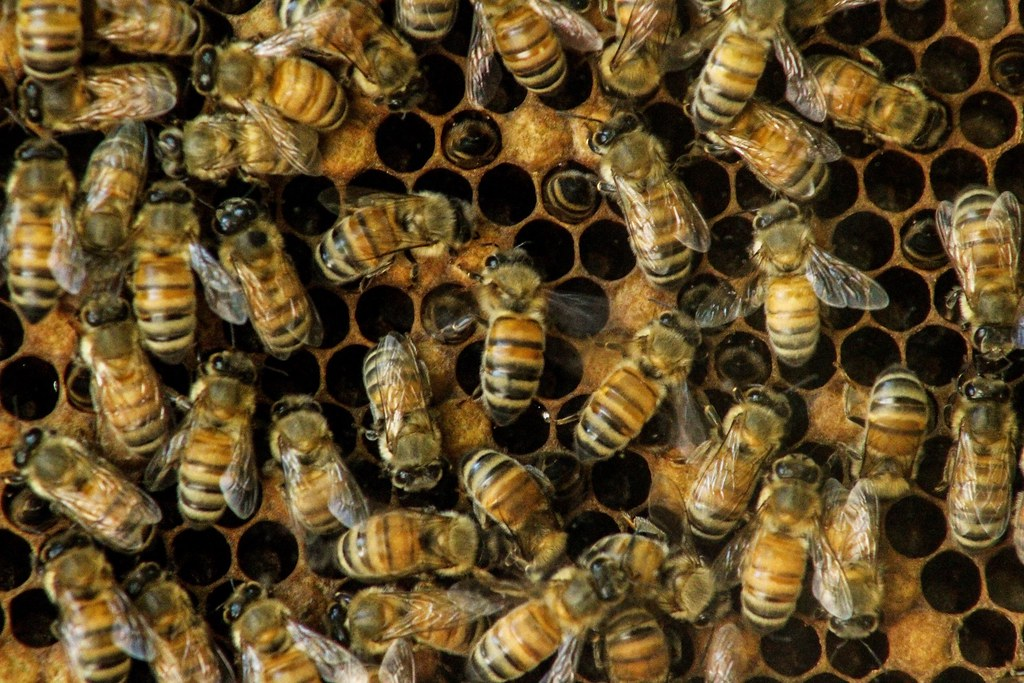 A look at the recent buzz about saving the bees (and what you can do to help)