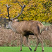 Another red deer stag, Wollaton Park
