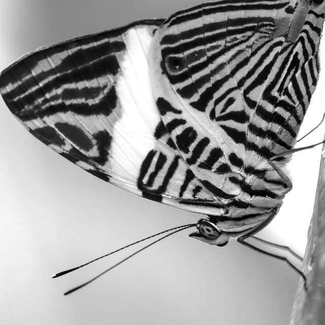 Zebra Mosaic Squared