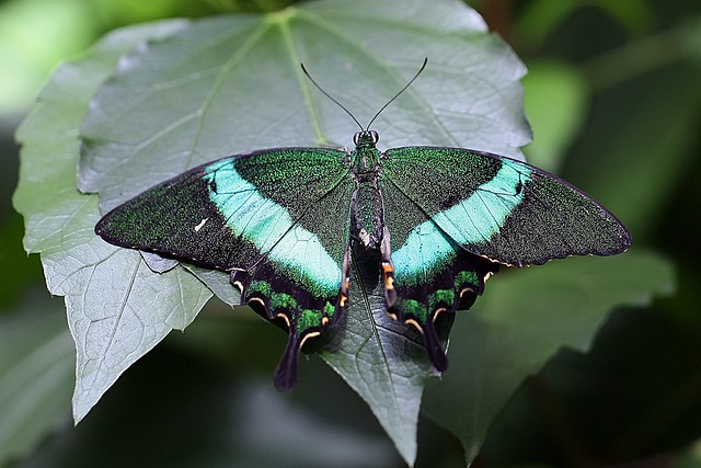 Emerald swallowtail, Canon EOS 5D MARK II, Canon EF 100mm f/2.8L Macro IS USM