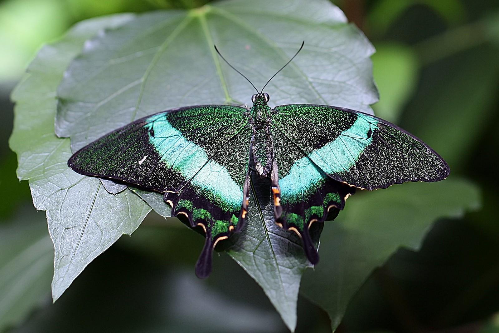 Emerald swallowtail, Canon EOS 5D MARK II, Canon EF 100mm f/2.8L Macro IS USM