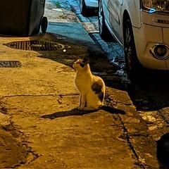 Cayenne Cat