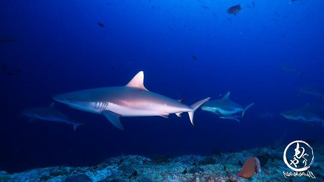 大好きなミヤルカンドゥでサメ三昧♪