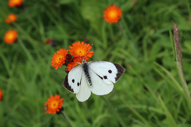 Large White on Fox-and-Cubs, Canon EOS 70D, Canon EF-S 18-55mm f/3.5-5.6 USM