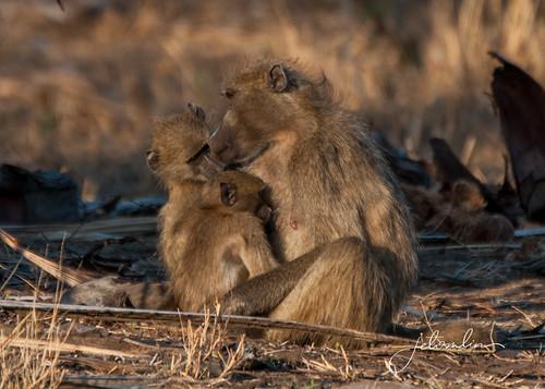 baboon _DSC1022