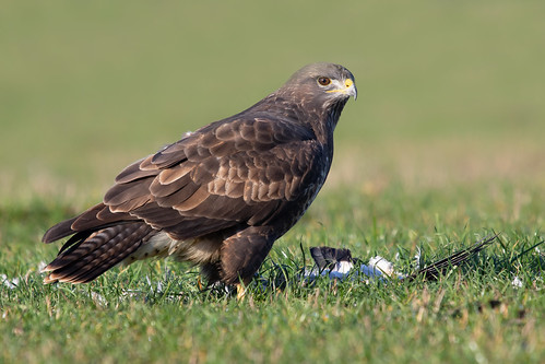 Common Buzzard (Buteo buteo) | by Wildlife Photography by Matt Latham