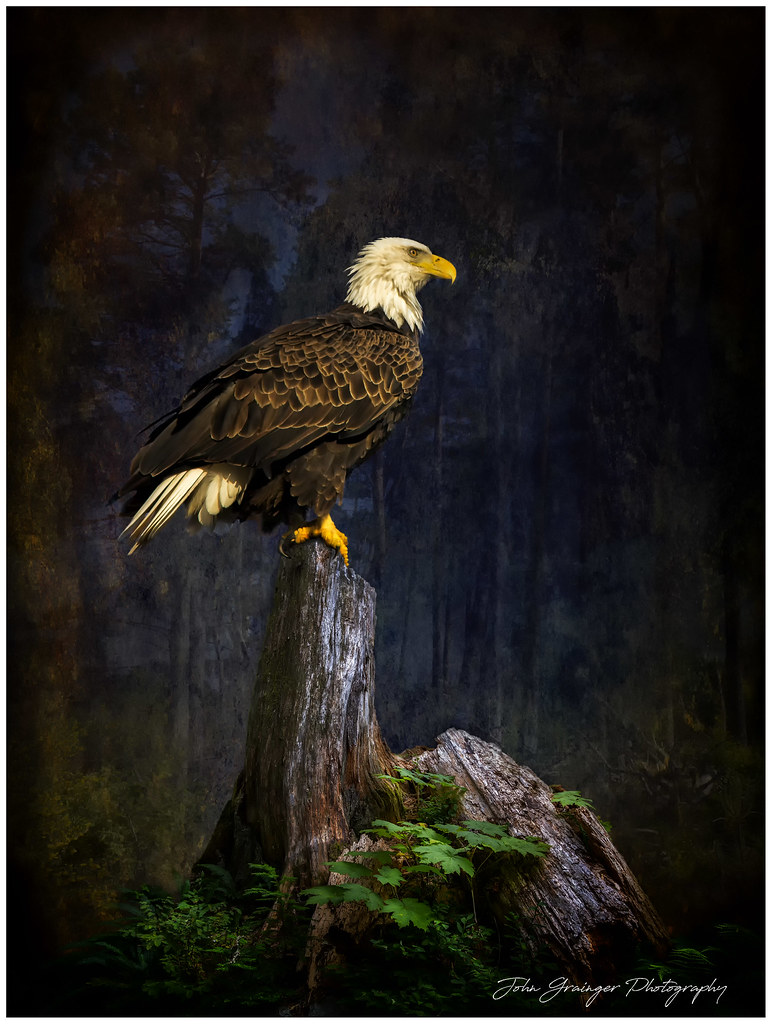 Eagle on stump.