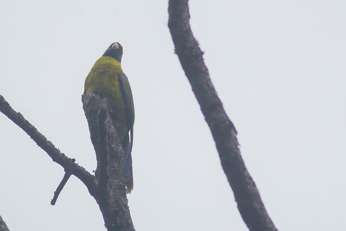 Green Rosella  - male