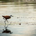 African Jacana walking on a water lily