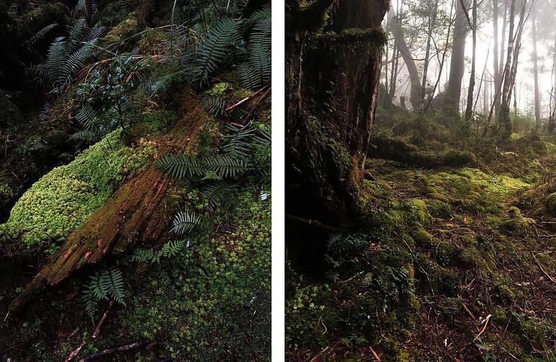 厚重的苔蘚有吸音效果,彷彿置身在錄音間,也讓翠峰湖步道顯得特別安靜。