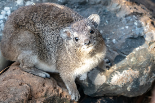 Darling Hyrax hanging out around our tent at Ol Seki