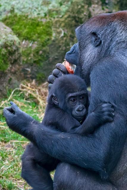 Young gorilla at Blackpool, Nikon D500, AF-S Nikkor 70-200mm f/4G ED VR