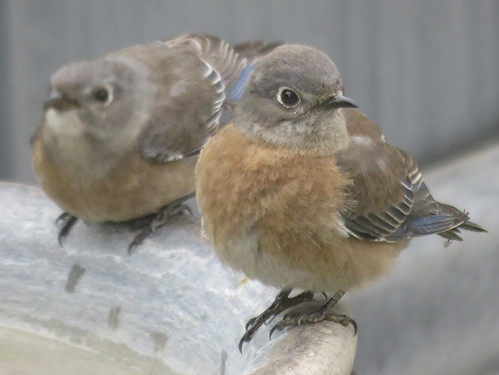 20190105 Immature Western Bluebirds - in Explore