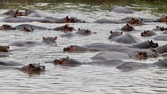 Pod of thirty hippos