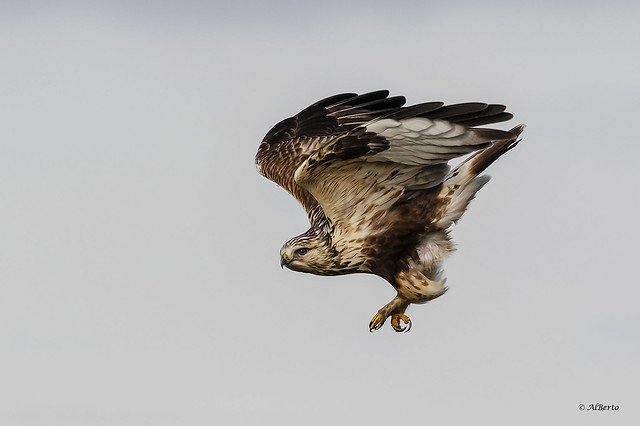 Rough-legged Hawk / Buse pattue