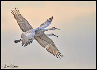 Sandhill Cranes at Jasper-Pulaski Fish and Wildlife Area  - No. 1